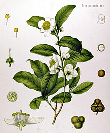 Tavola illustrata camelia sinensis